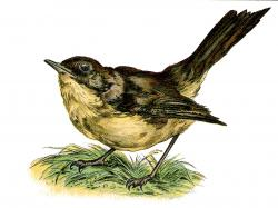 Bird clipart nightingale