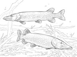 Northern Pike clipart nothern