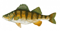 Northern Pike clipart perch