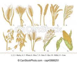Barley clipart oat
