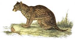 Big Cat clipart ocelot