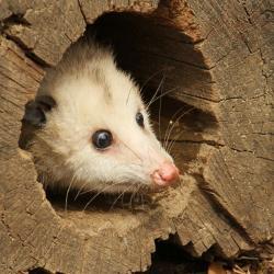 Opossum clipart length