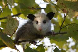 Possum clipart tree