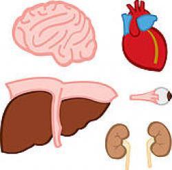 Organs clipart