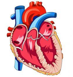 Organs clipart heart muscle