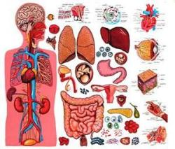 Organs clipart human anatomy and physiology