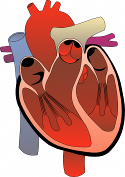 Rate clipart human heart