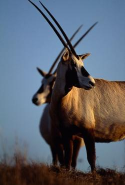 Oryx clipart dear animal