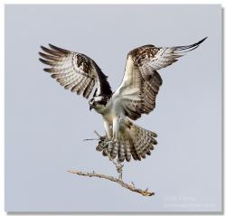Osprey clipart bird prey