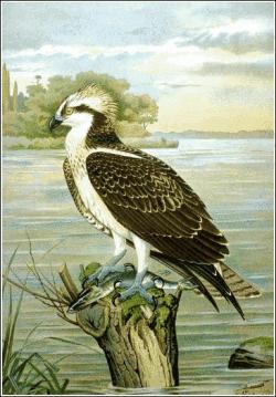 Osprey clipart