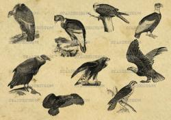 Condor clipart osprey