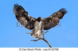 Osprey clipart eagle landing