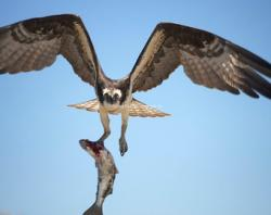 Osprey clipart falcon flying