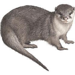 Sea Otter clipart mongoose