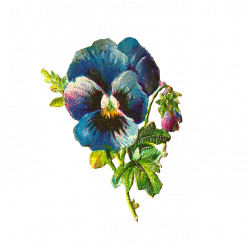 Pansy clipart blue