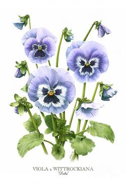 Pansy clipart botanical
