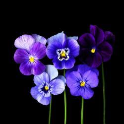 Pansy clipart indigo plant