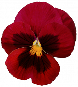 Pansy clipart red