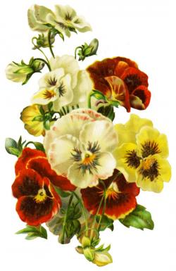 Pansy clipart single