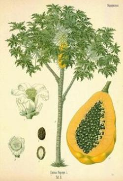 Papaya clipart in bloom