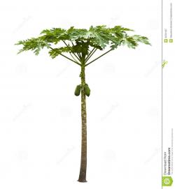 Pawpaw clipart papaya tree