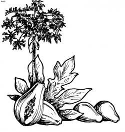 Papaya clipart sketch