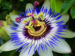 Passion Flower clipart unusual