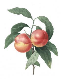 Peach clipart vintage