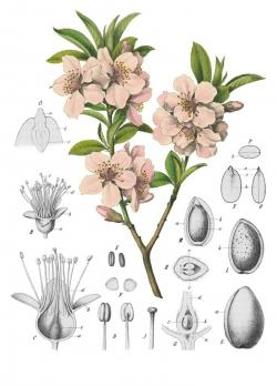 Peach Flower clipart almond