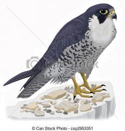 Prairie Falcon clipart drawing