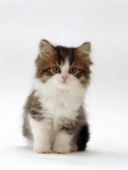 Tabby Cat clipart white kitten