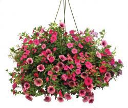 Petunia clipart hanging basket