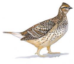 Pheasant clipart grouse