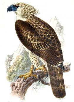 Philippine Eagle clipart