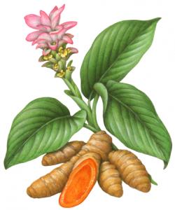 Turmeric clipart ginger plant