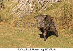 Warthog clipart javelina