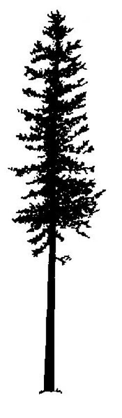 Drawn fir tree thin