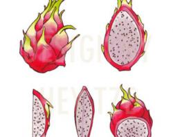Pitaya clipart dragon berry