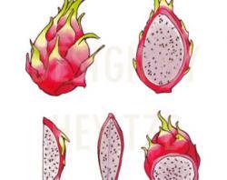 Pitaya clipart dragon berry