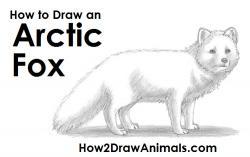 Drawn fox artic fox