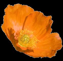 Orange Flower clipart california poppy