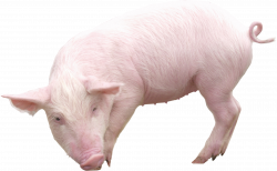 Pork clipart pig tail