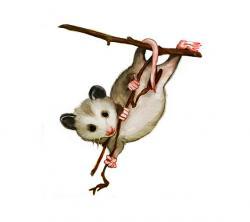 Opossum clipart possum