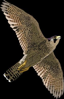 Cooper's Hawk clipart falcon