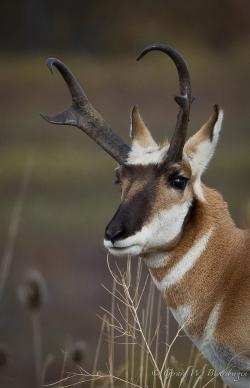 Pronghorn Antelope clipart crockett