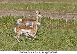 Pronghorn Antelope clipart saskatchewan