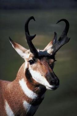 Pronghorn Antelope clipart world record