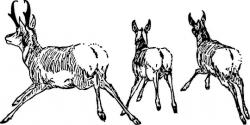 Pronghorn Antelope clipart deer