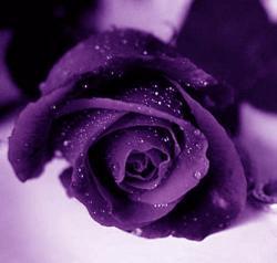 Purple Rose clipart glitter