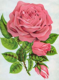 Purple Rose clipart google image